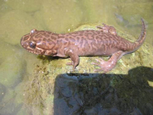 California Giant Salamander