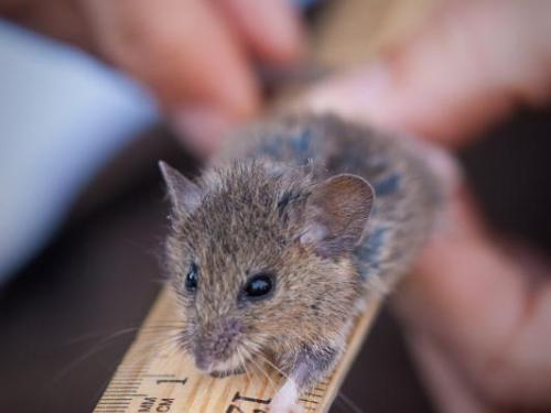 Salt Harvest Mouse